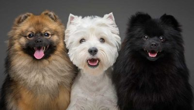 beautiful-spitz-dogs-on-grey-background-6HL85XQ